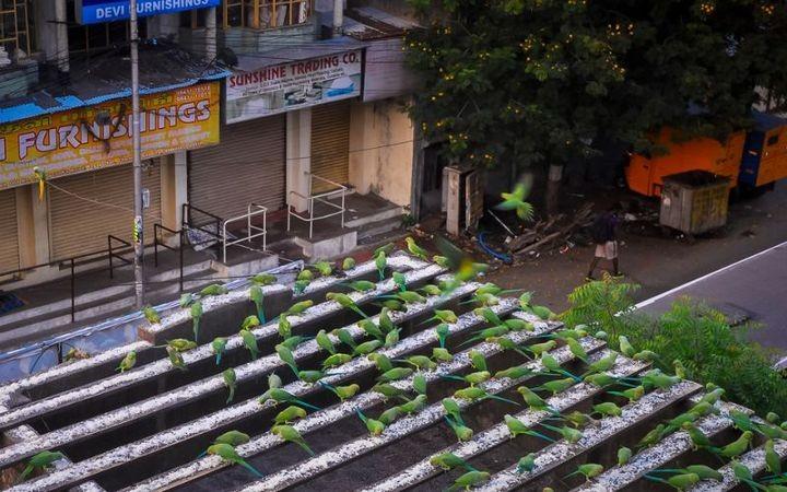 Индиец 10 лет кормит тысячи попугаев (5)
