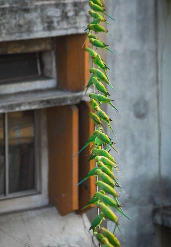 Индиец 10 лет кормит тысячи попугаев (7)