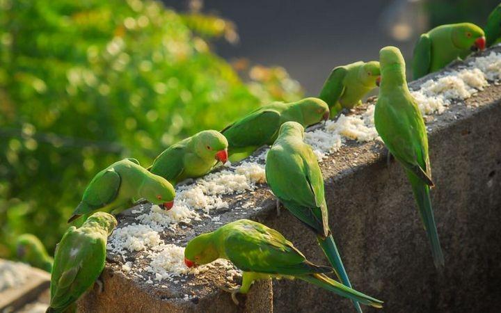 Индиец 10 лет кормит тысячи попугаев (8)
