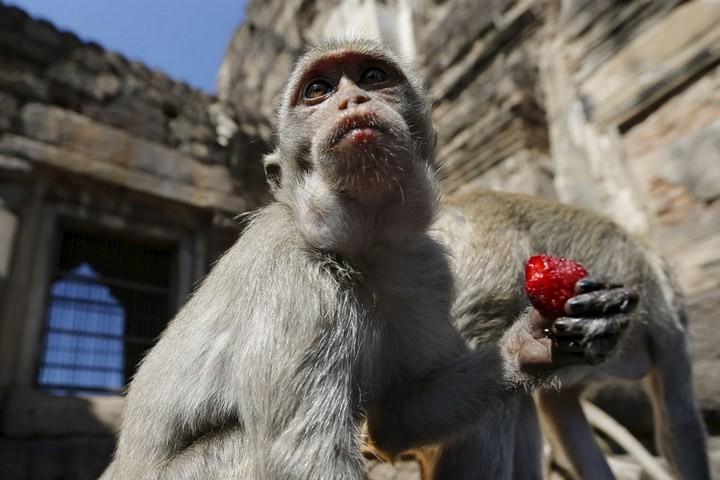 Фестиваль обезьян в Таиланде (2)