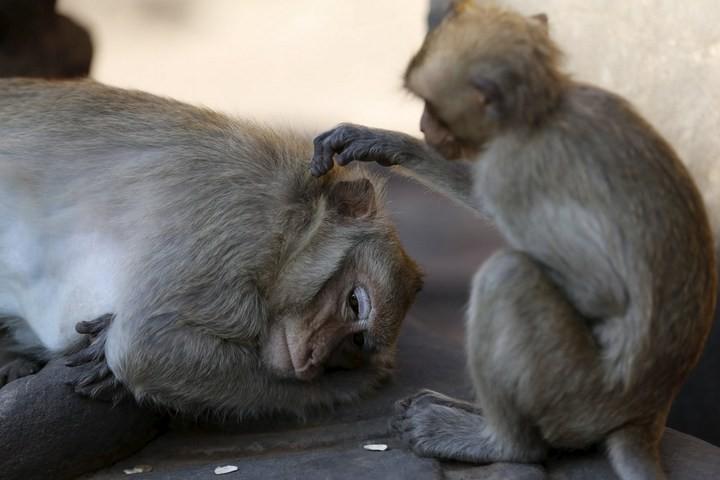 Фестиваль обезьян в Таиланде (4)