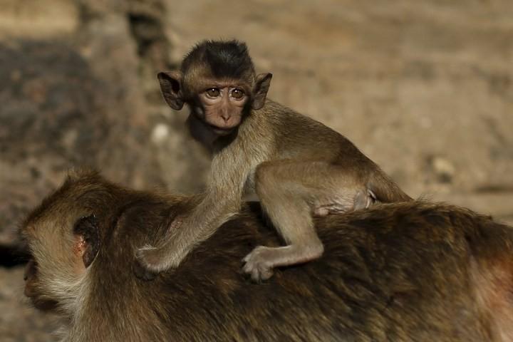 Фестиваль обезьян в Таиланде (7)