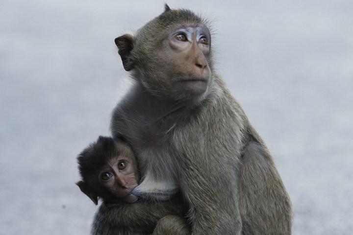 Фестиваль обезьян в Таиланде (17)