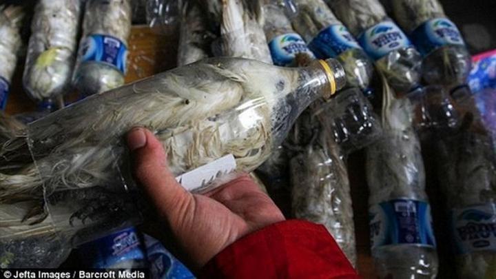 Контрабанда попугаев в пластиковых бутылках (3)