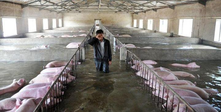 Фермер из Китая вынужден оставить умирать 6000 своих свиней из-за наводнения (3)