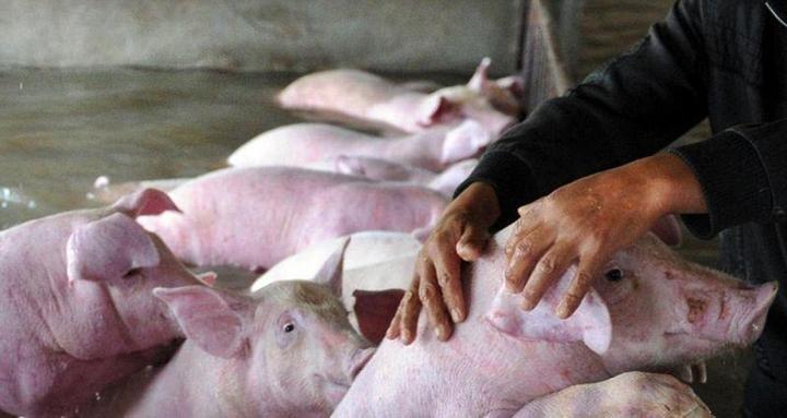 Фермер из Китая вынужден оставить умирать 6000 своих свиней из-за наводнения (4)