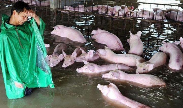 Фермер из Китая вынужден оставить умирать 6000 своих свиней из-за наводнения (5)