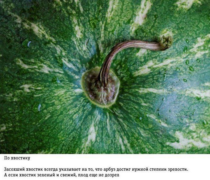 Как правильно выбирать арбуз (5)