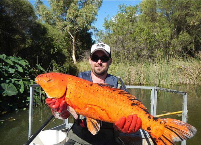 золотые рыбки (1)