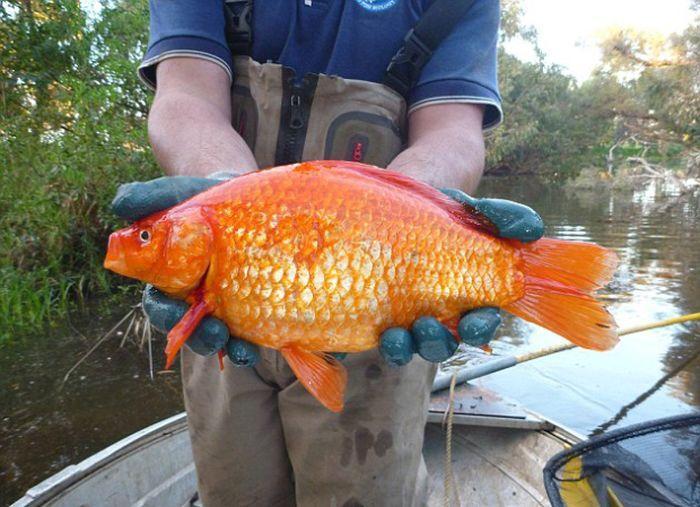 золотые рыбки (2)