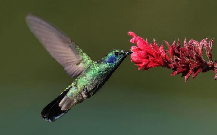 колибри и ее полет (1)