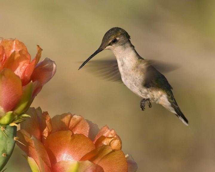 колибри и ее полет (2)