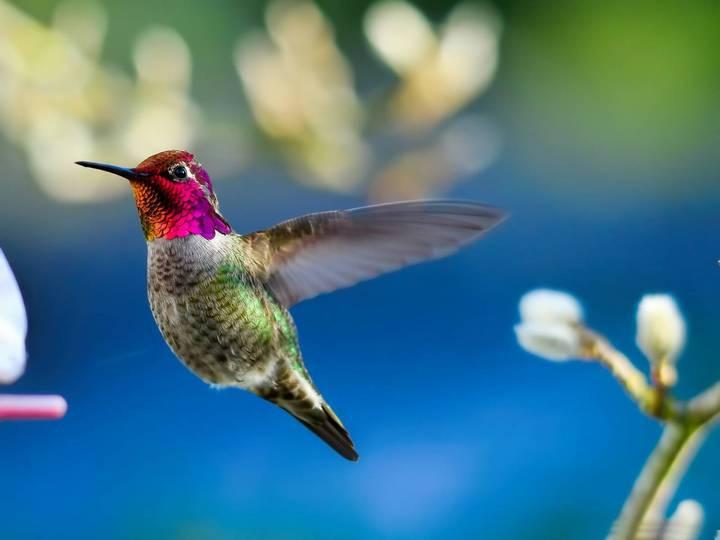 колибри и ее полет (3)