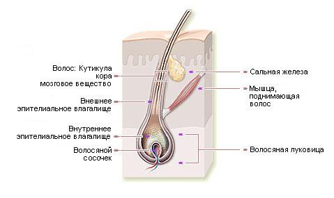 Интересные факты о волосах (4)