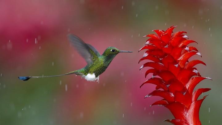 колибри и ее полет (4)