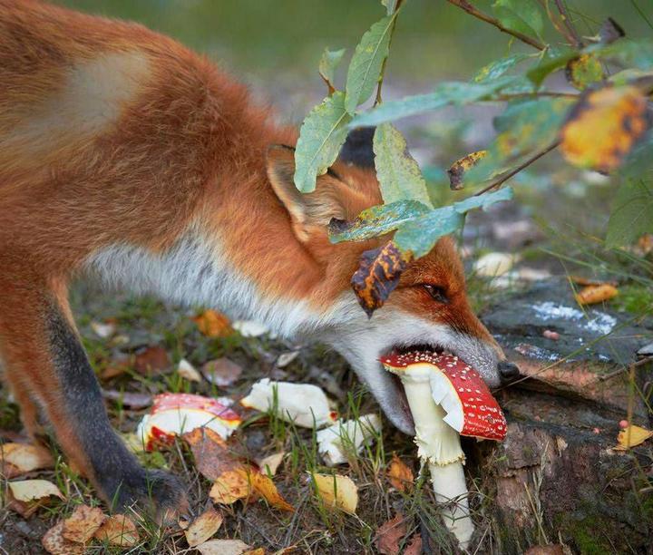 зачем лиса грызёт мухомор?