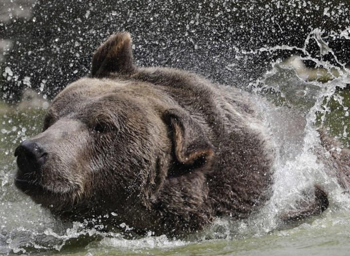 Необычная дружба с огромным медведем (6)