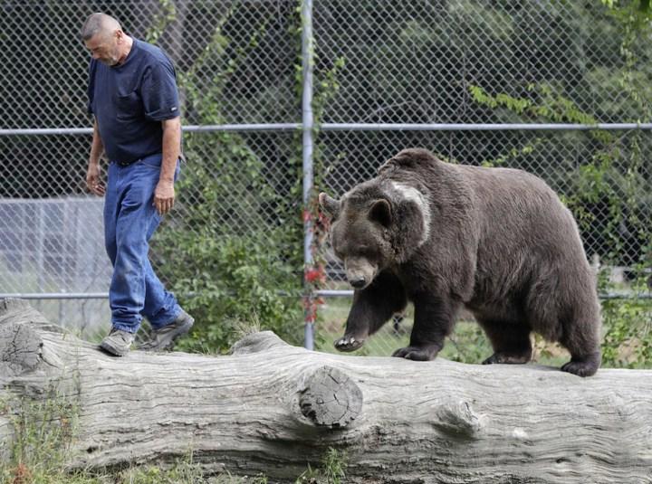 Необычная дружба с огромным медведем (9)