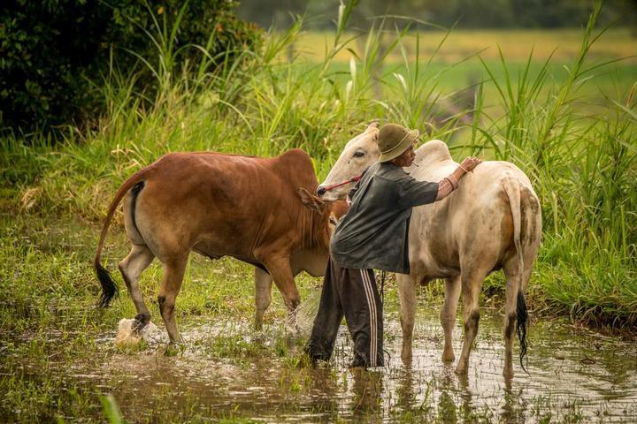Традиционные гонки на быках в Индонезии (2)