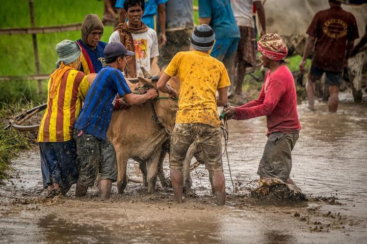 Традиционные гонки на быках в Индонезии (4)