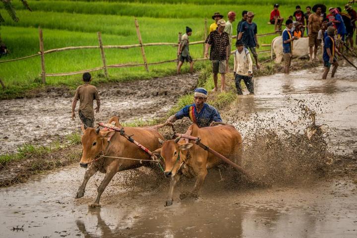 Традиционные гонки на быках в Индонезии (6)