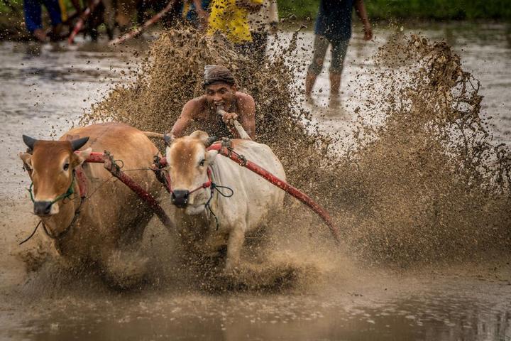 Традиционные гонки на быках в Индонезии (12)
