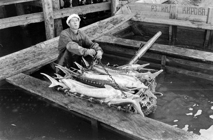 Добыча чёрной икры в Астрахани в 1960-м году (5)