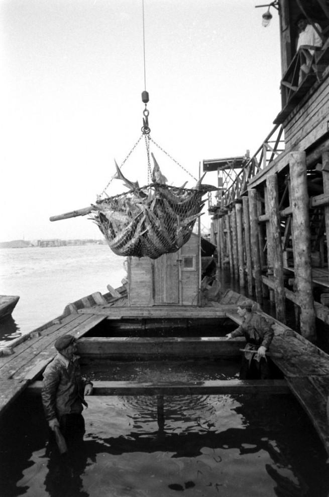 Добыча чёрной икры в Астрахани в 1960-м году (6)