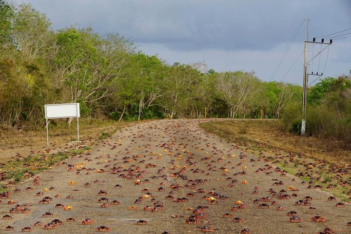На Кубе началась сезонная миграция крабов (1)
