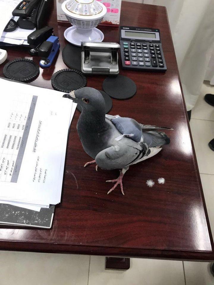 Голубь с полным рюкзаком наркотиков пойман в Кувейте (1)