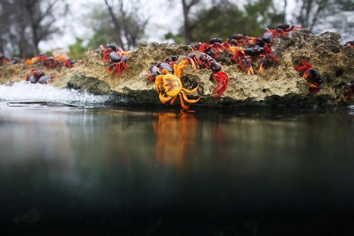 На Кубе началась сезонная миграция крабов (13)