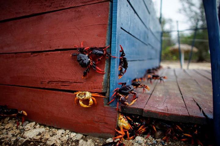 На Кубе началась сезонная миграция крабов (14)