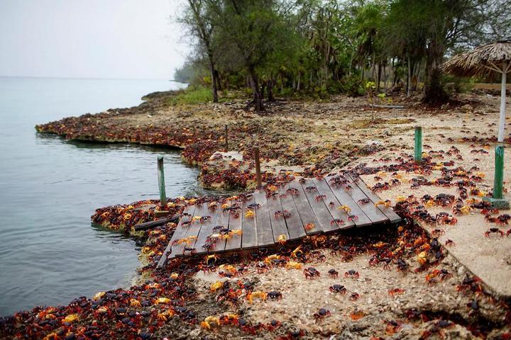 На Кубе началась сезонная миграция крабов (2)