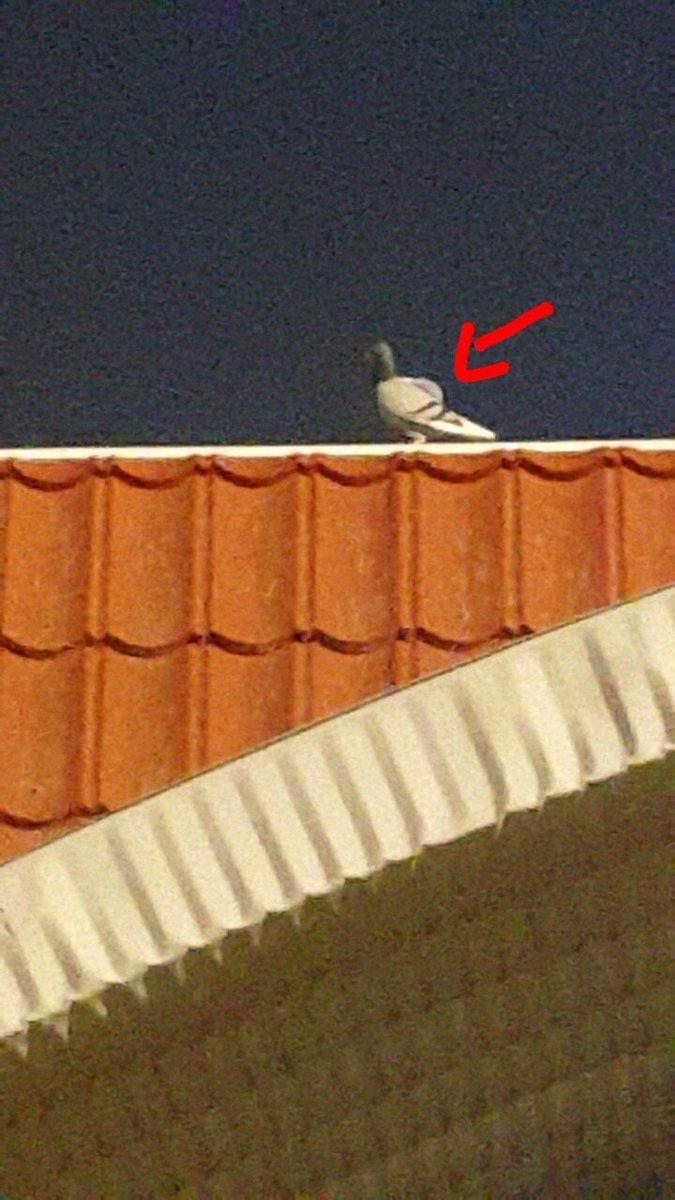 Голубь с полным рюкзаком наркотиков пойман в Кувейте (3)