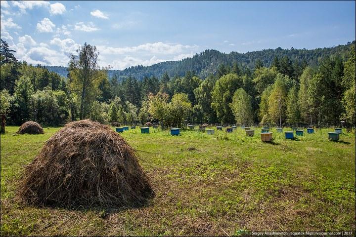Как в Башкирии добывают мед диких пчел (2)