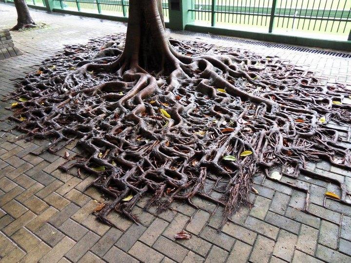 """10 """"крутых"""" деревьев, которые отказались умирать (8)"""