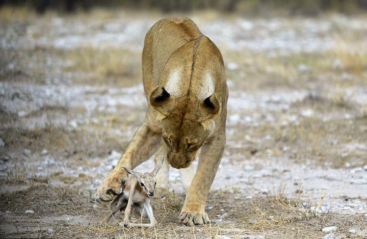 У львицы проснулся материнский инстинкт к жертве (1)
