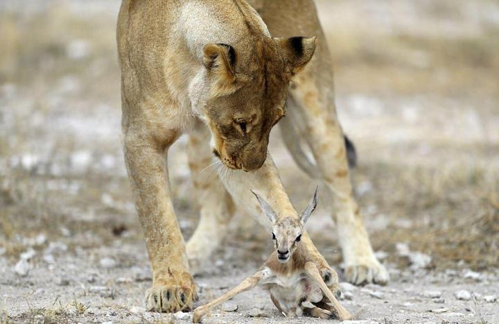 У львицы проснулся материнский инстинкт к жертве (2)