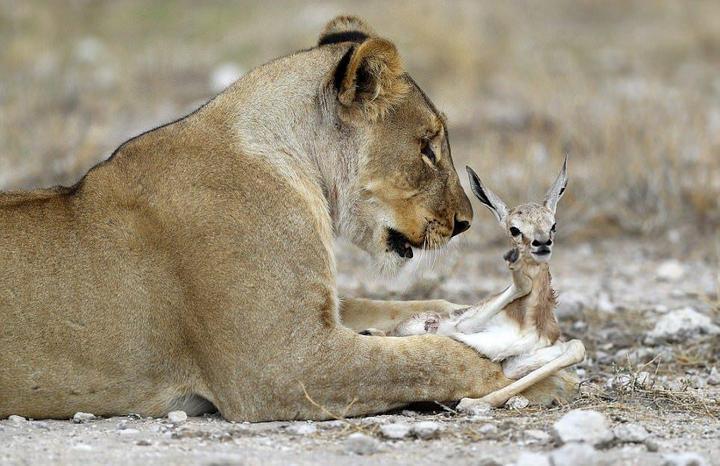 У львицы проснулся материнский инстинкт к жертве (4)