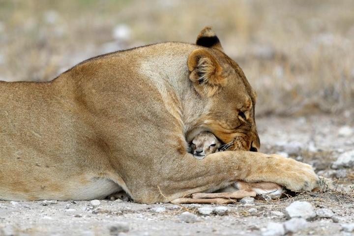 У львицы проснулся материнский инстинкт к жертве (6)