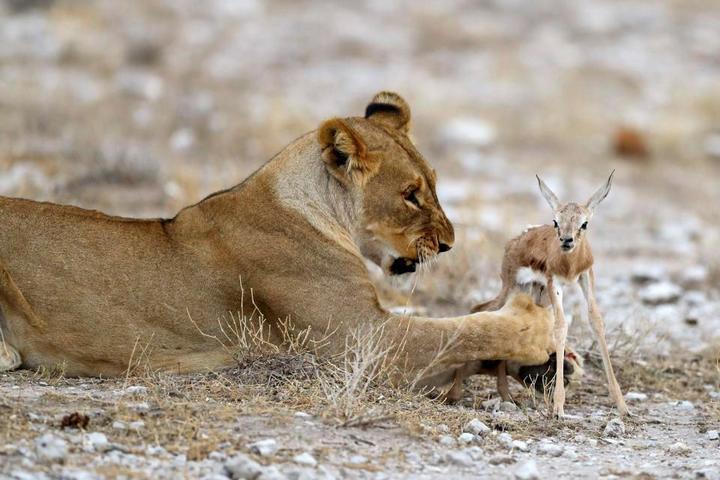 У львицы проснулся материнский инстинкт к жертве (8)