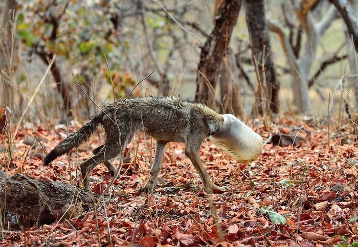 волк с бутылкой на голове (1)