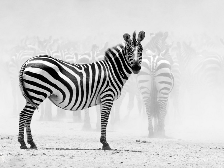 Почему люди не приручили зебру (1)