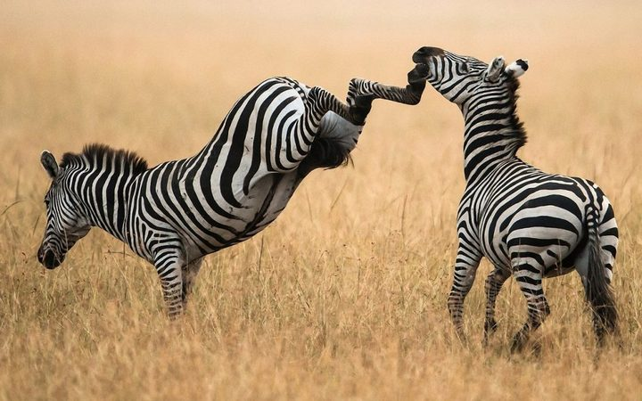 Почему люди не приручили зебру (2)