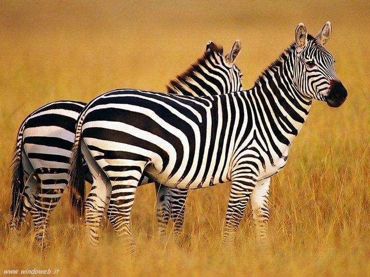 Почему люди не приручили зебру (5)