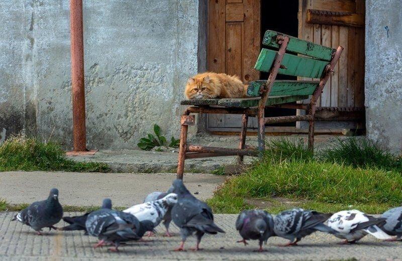 Как рыжий кот на голубей охотился (1)