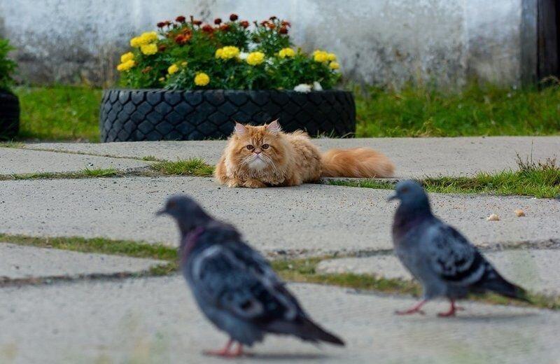 Как рыжий кот на голубей охотился (2)