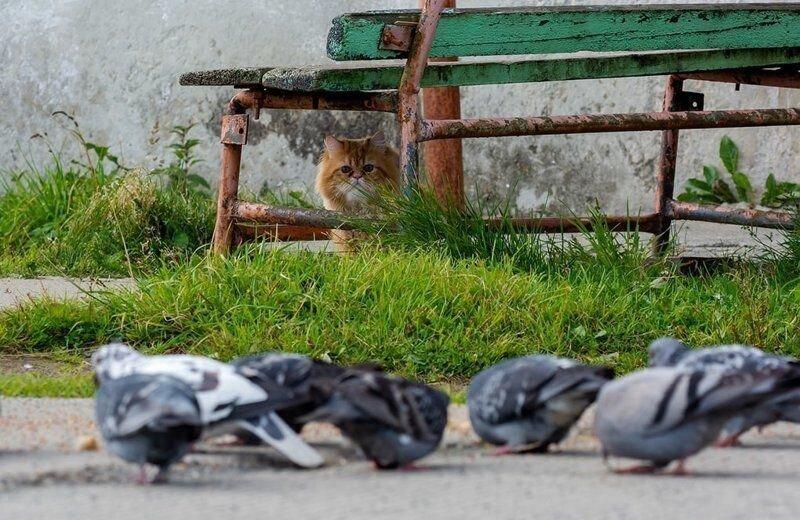 Как рыжий кот на голубей охотился (3)