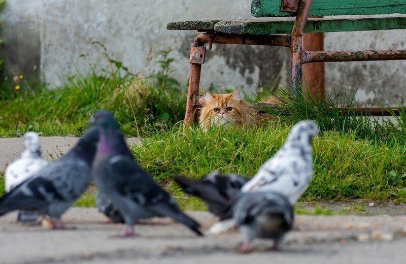 Как рыжий кот на голубей охотился (5)