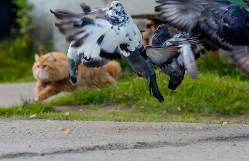 Как рыжий кот на голубей охотился (6)